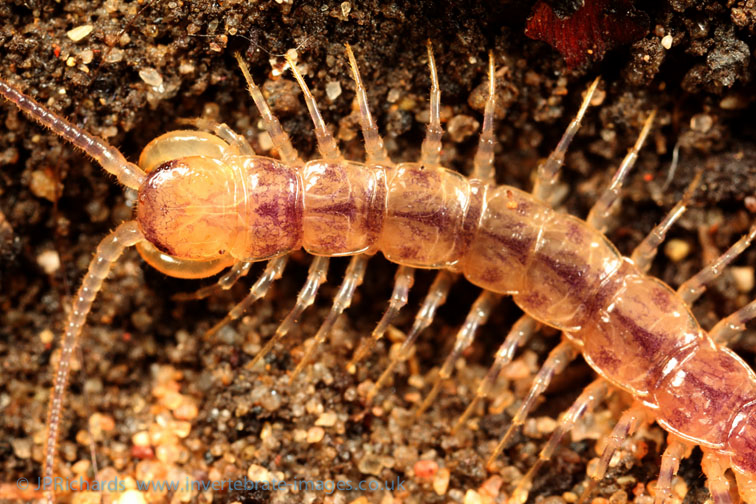 Lithobius variegatus © Paul Richards