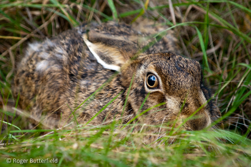 Brown Hare © Roger Butterfield