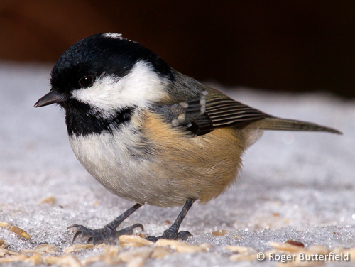 Coal Tit © Roger Butterfield