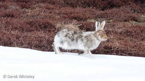 Mountain Hare © Derek Whiteley