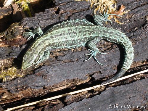 Viviparous Lizard © Derek Whiteley