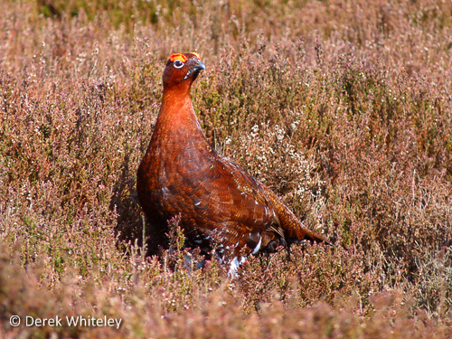 Red Grouse (Lagopus lagopus). Photographed by Derek Whiteley.