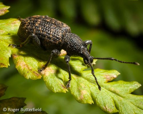 Vine Weevil (<Otiorhynchus sulcatus).