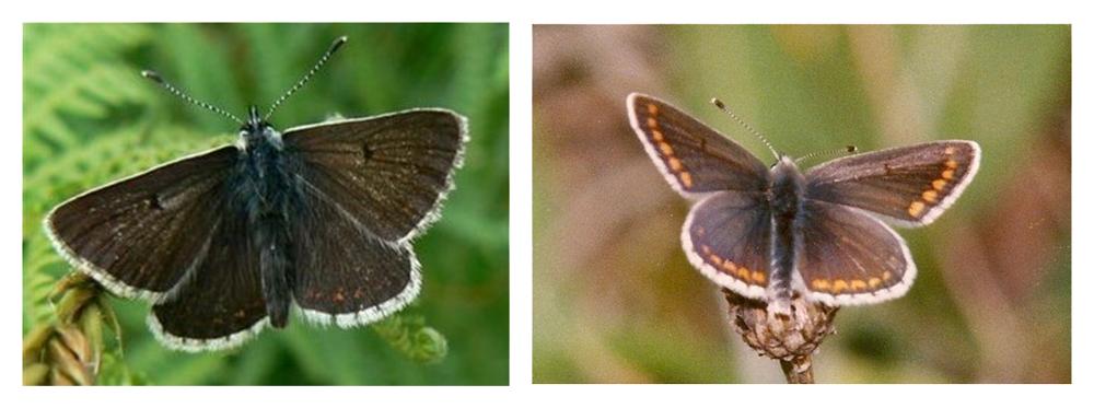 brown-argus-smyllie