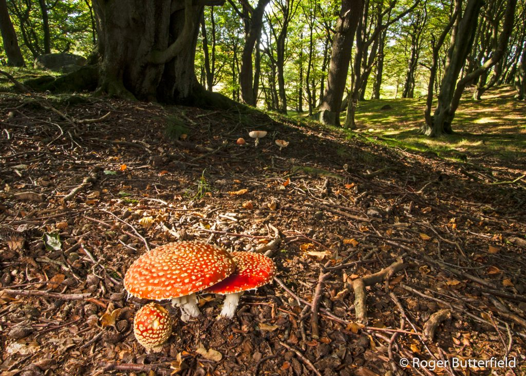 Fly Agaric mushrooms in Millstones Wood, near Stocksbridge.